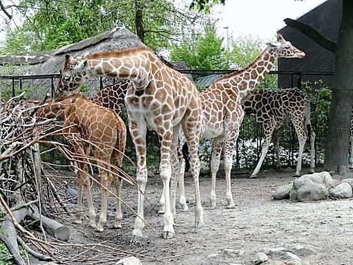 copenhagen_zoo-turrehberin
