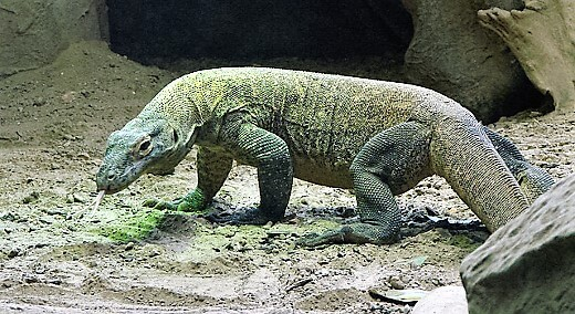 komodo-dragon-turrehberin
