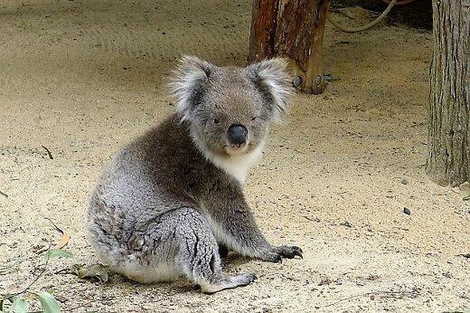 koala-perthzoo-turrehberin